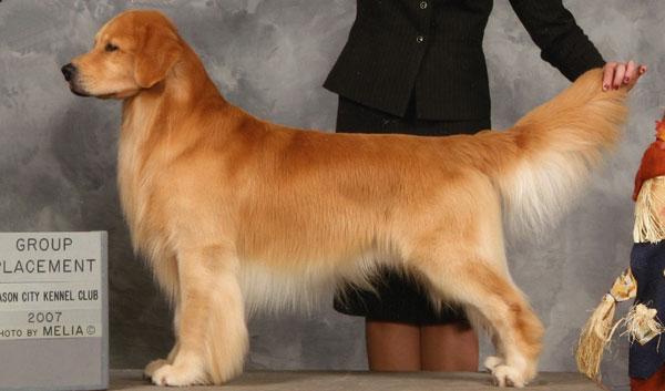 National Dog Show Golden Retriever
